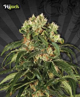 hijack-marijuana-seeds