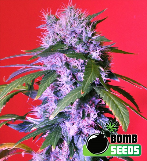 Berry Bomb Auto by Bomb Seeds