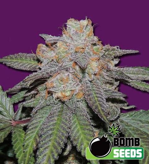 Cherry-Bomb-Auto-feminized-marijuana-seeds-