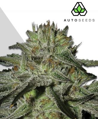 Kush Doctor Marijuana Strain