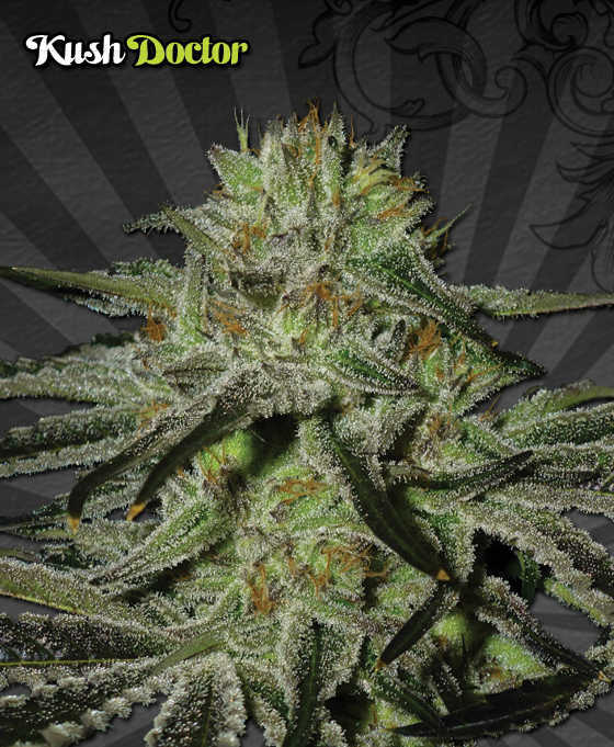 kush-doctor-autoflowering-marijuana-seeds