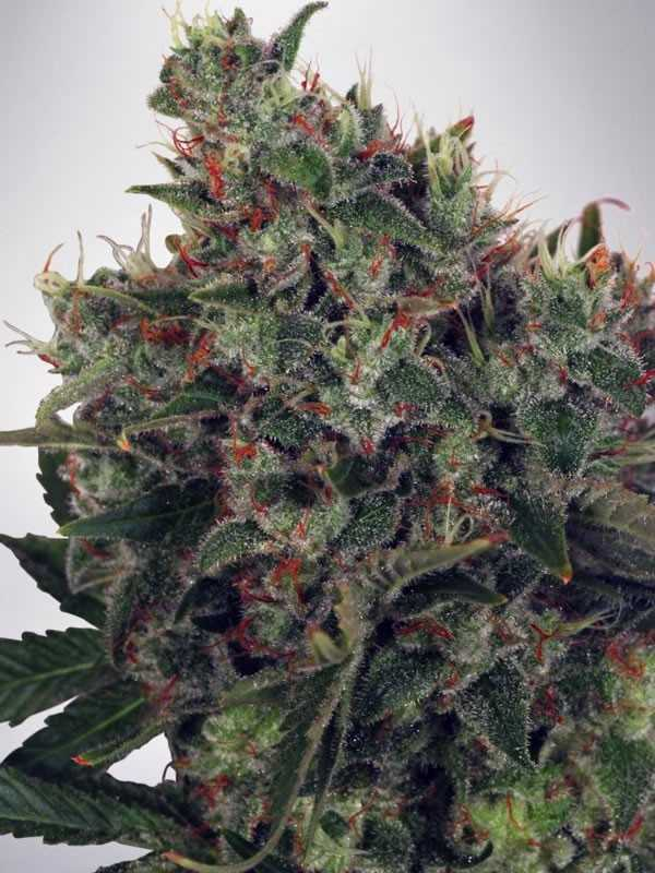 ultra-white-amnesia-feminized-marijuana-seeds