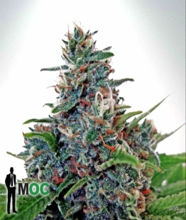 auto-blue-amnesia-marijuana-seeds