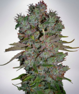auto-blueberry-domina-feminized-seeds