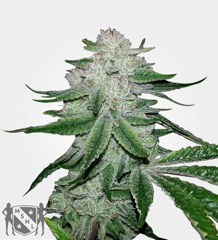 gorilla-glue-feminized-marijuana-seeds