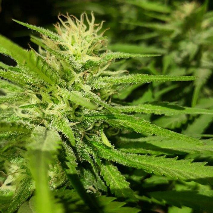 Mazar marijuana seeds