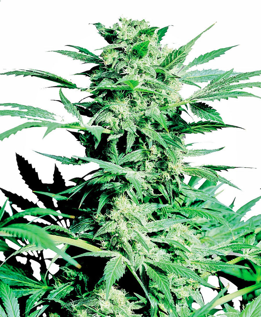 shiva-skunk-feminised-marijuana-seeds-sensi-seeds