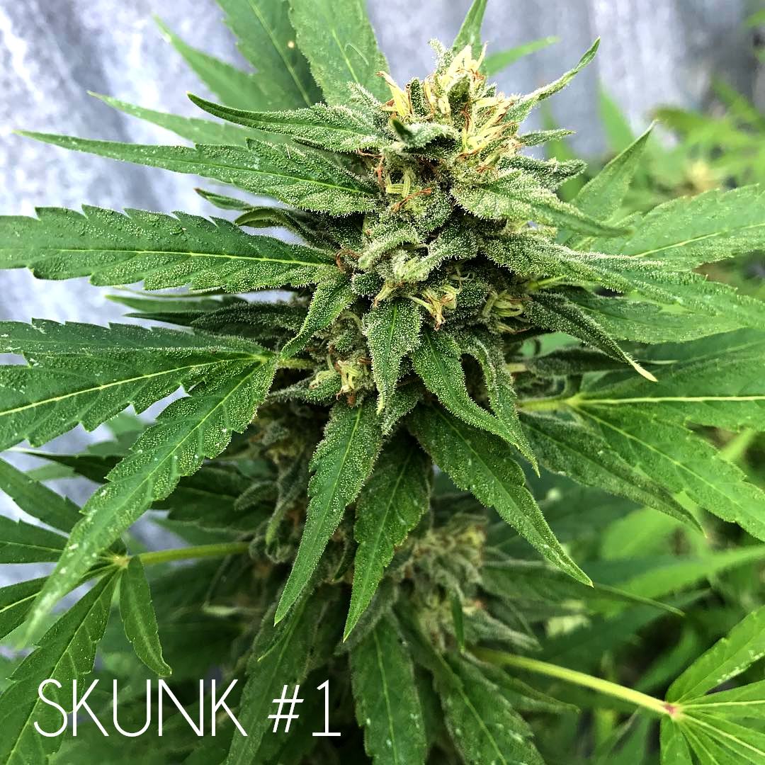 Skunk #1 marijuana seeds