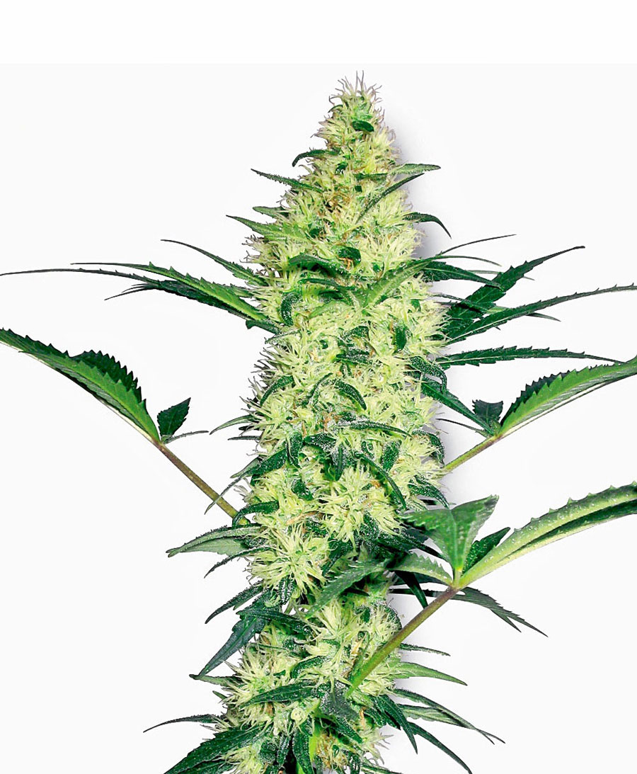 white-diesel-feminised-marijuana-seeds-by-sensi-seeds