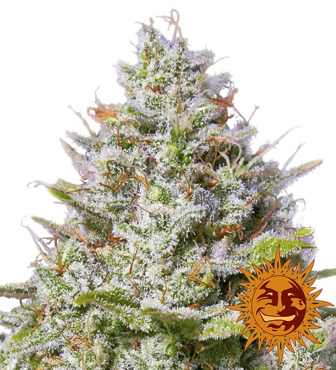 Blue Gelato 41 marijuan strain