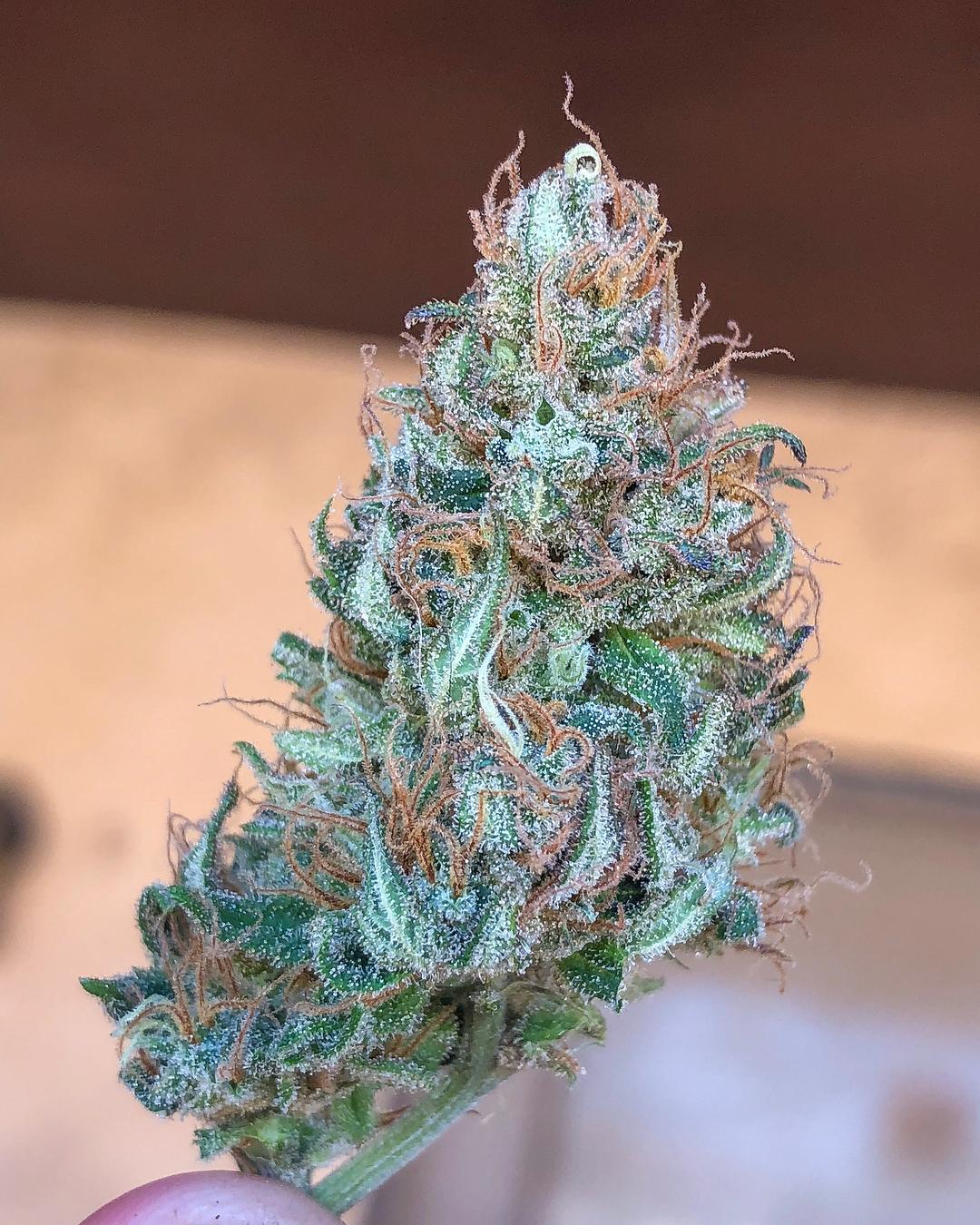 Papaya cannabis