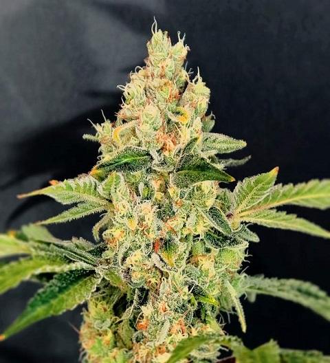 sherbet cookies marijuana