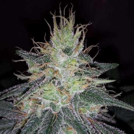 Sherbet Cookies cannabis