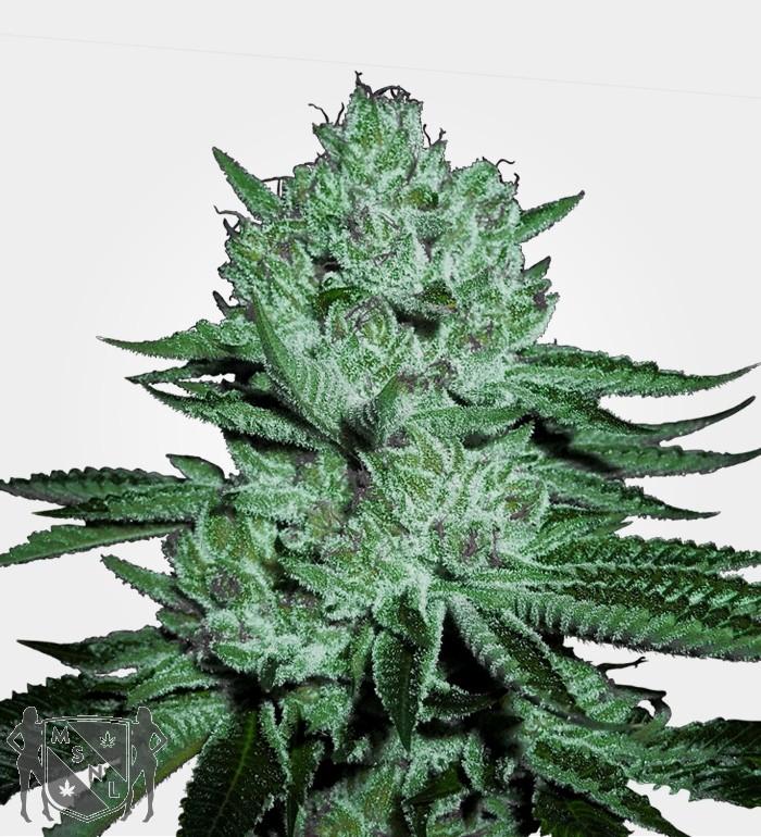 Zkittlez Feminized Marijuana by MSNL