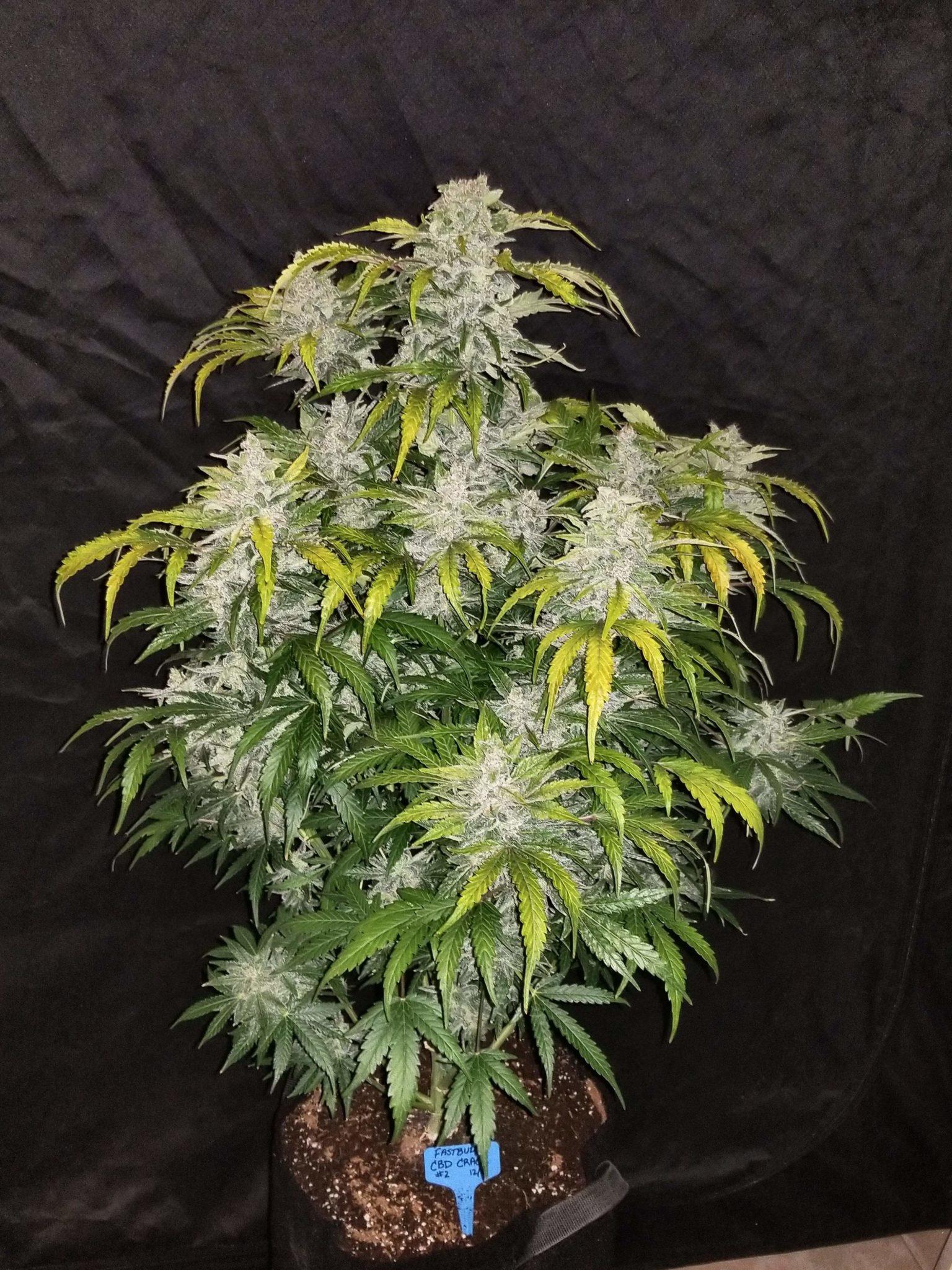 CBD Crack Auto cannabis