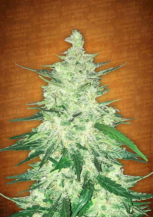 cbd crack auto marijuana seeds