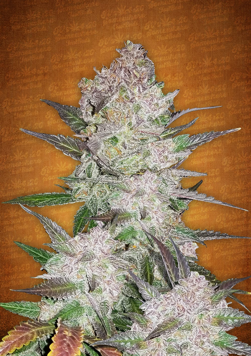 cream cookies auto marijuana seeds