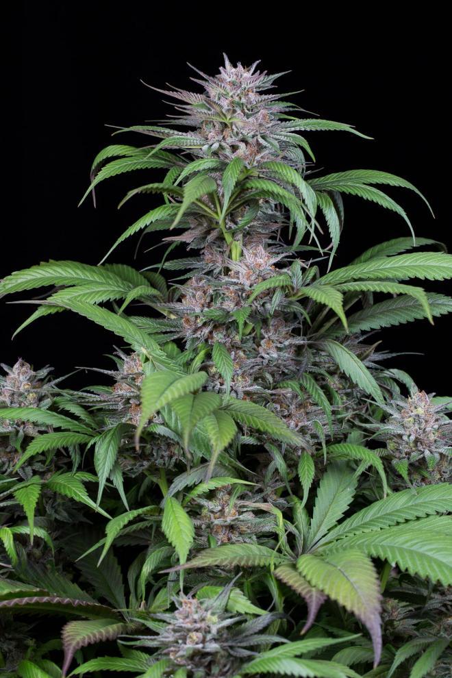 Quick Kush marijuana seeds by Dianfem