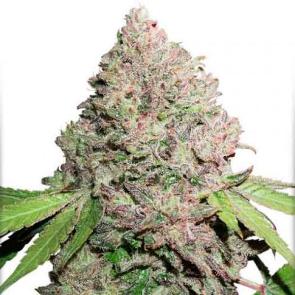 CBD Charlotte's Angel marijuana strain