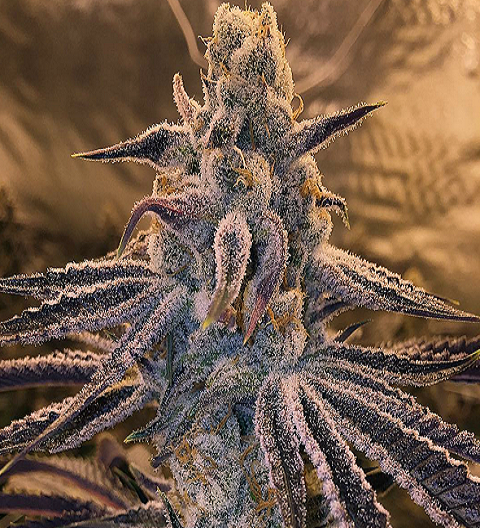 Purple Punch Marijuana strain