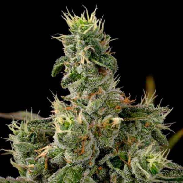nicole-x-banana weed